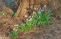 Spanish Bluebells and Sequoia Tree, Washington