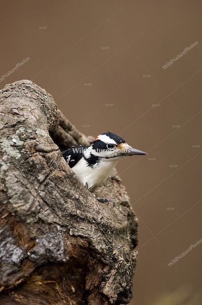 Hairy Woodpecker (Picoides villosus), male, in hole in tree stump