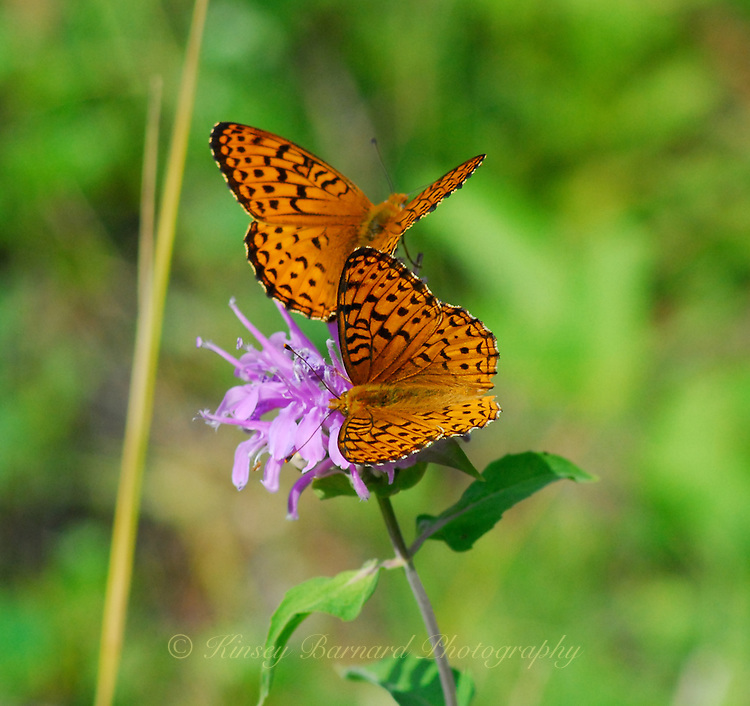 Two orange and black butterflies on a purple wildflower.