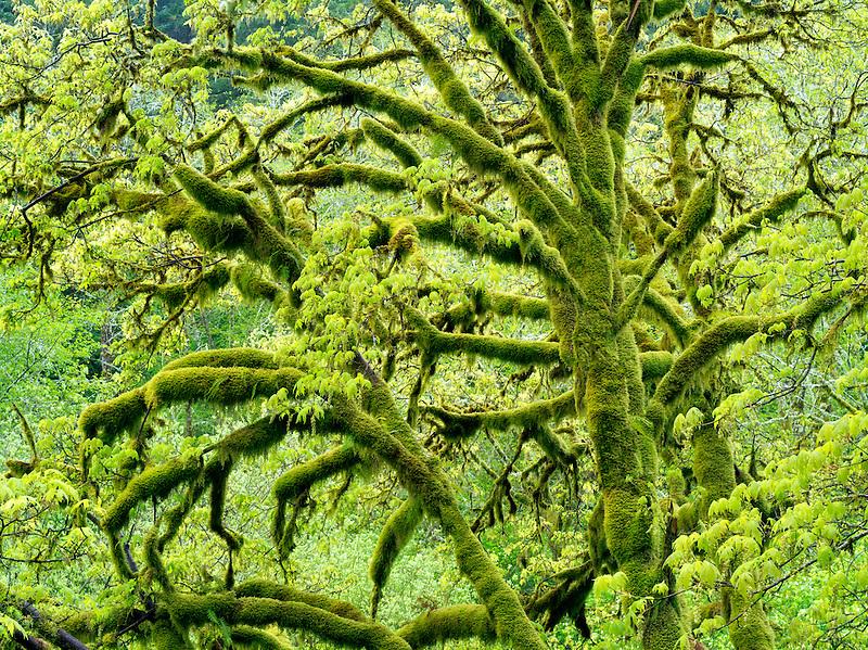 Big Leaf Maple tree with moss and new growth. Oregon coastal range.