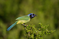 551110064 a wild green jay cyanocorax yncas perches in a plant on dos venadas ranch starr county texas united states