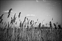 A back view of Statue of Liberty through tall reed grasses,