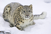 Snow Leopard laying in the snow - CA