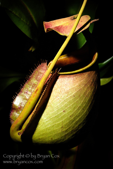 Pitcher plant, Marie Selby Botanical Gardens, Florida