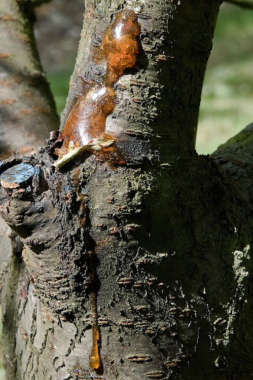 Amber-coloured gum oozing from the branch of a cherry tree afflicted with Prunus bacterial canker.