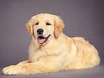 Golden Retriever four month old puppy lying down isolated on gray background