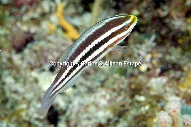 Scarus iserti, Striped parrotfish, FL Keys