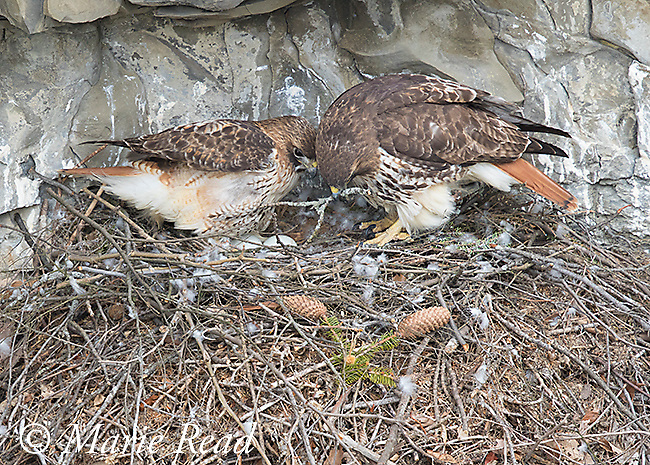 Red-tailed Hawks (Buteo jamaicensis) pair at nest during incubation exchange, female on right has brought a stick to add to the nest, male on left stands up revealing 2 eggs, before leaving to alow female to incubate. Ithaca, New York, USA