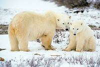 polar bears, mother and second year cub, Ursus maritimus, Churchill, Manitoba, Canada, Arctic, polar bear, Ursus maritimus
