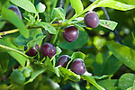 Wild Huckleberries in Montana