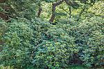 Rhododendron Path at the Arnold Arboretum in the Jamaica Plain neighborhood, Boston, Massachusetts, USA
