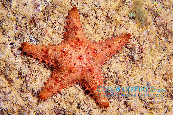 Sheriff-badge star, Asteropsis carinifera, Kona Coast, Big Island, Hawaii, Pacific Ocean