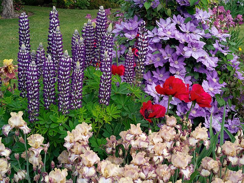 Close up of iris,lupine clematis and poppies. Schrieners Iris Gardens, Salem, Oregon.