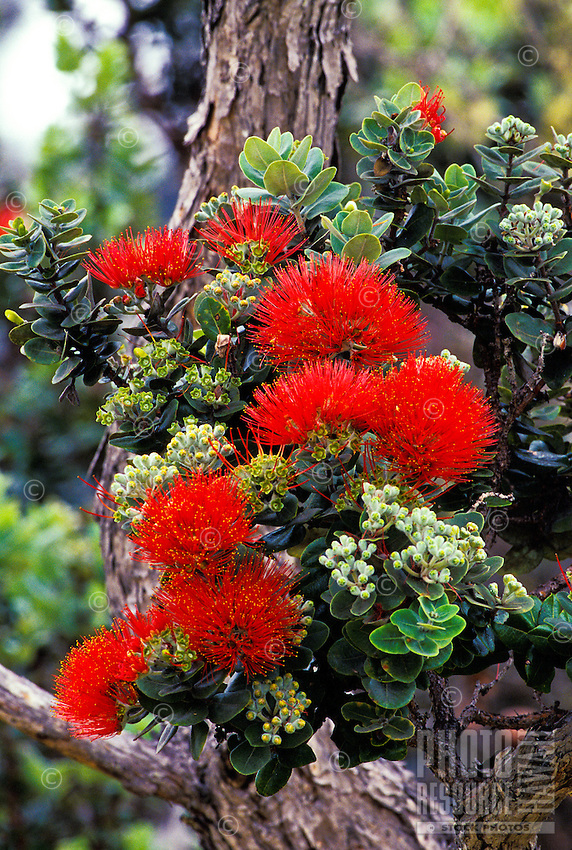 Native ohia blossoms at Hawaii tropical botanical gardens