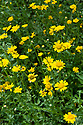 Corn marigold (Chrysanthemum segetum), early August.