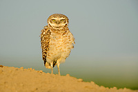Burrowing Owl (Athene cunicularia). Adams County, Washington. May.