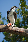 Captiva Island, Florida; an Osprey (Pandion haliaetus) bird eating a fish while standing perched on a tree branch, also known as Seahawk, Fish Hawk or Fish Eagle © Matthew Meier Photography, matthewmeierphoto.com All Rights Reserved