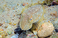 cuttlefish, sepia officinalis, Aegean sea, Mediterranean