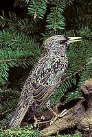 BL03-001z  Starling - winter plumage - Sturnus vulgaris.
