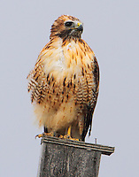 Adult light-phase red-tailed hawk