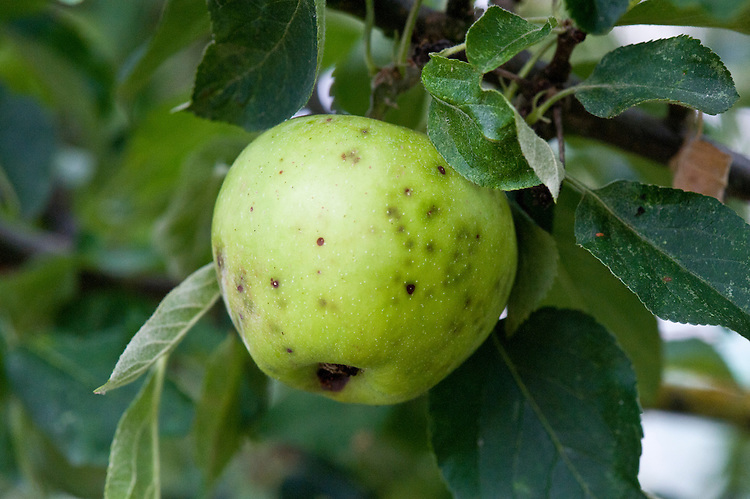 Apple bitter pit is a calcium-deficiency disorder. It occurs when apples are unable to absorb sufficient calcium from the soil. As a result, fruit cells die and rot, producing small, round, dark spots or sunken pits on the skin of the fruit, and sometimes in the flesh, too.