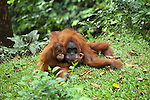 Orang Utans (Pongo abelii) in the rainforest of Sumatra, Indonesia, Asia