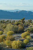 Desert Game Range or Desert National Wildlife Range, Nevada.  This is where a mountain wash (stream bed) meets the desert floor on the Northside of the Sheep Mountains.