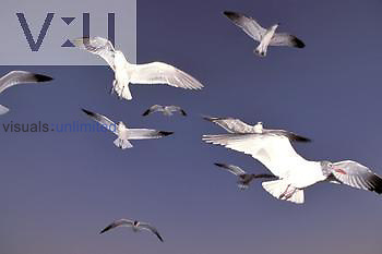 Immature Laughing Gulls in flight ,Larus atricilla,, Eastern North America.