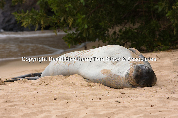 A Hawaiian monk seal, Monachus schauinslandi, (endemic and endangered) rests in the sand in Kapalua Bay, Maui, Hawaii.