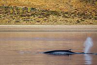 fin whale, Balaenoptera physalus, adult, surfacing, spouting, blowing, Isla Angel de la Guarda, Baja California, Mexico, Gulf of California, Sea of Cortez, Pacific Ocean