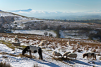United Kingdom, Wales, Powys, Brecon Beacons National Park, near Capel-y-ffin: Grazing livestock on Hay Bluff with view to Pen y Fan peak, Black Mountains | Grossbritannien, Wales, Powys, im Brecon Beacons National Park, bei Capel-y-ffin: Schafe und Ponys weiden im Winter auf dem Hay Bluff Huegel mit Blick auf den Pen y Fan Gipfel in den Black Mountains