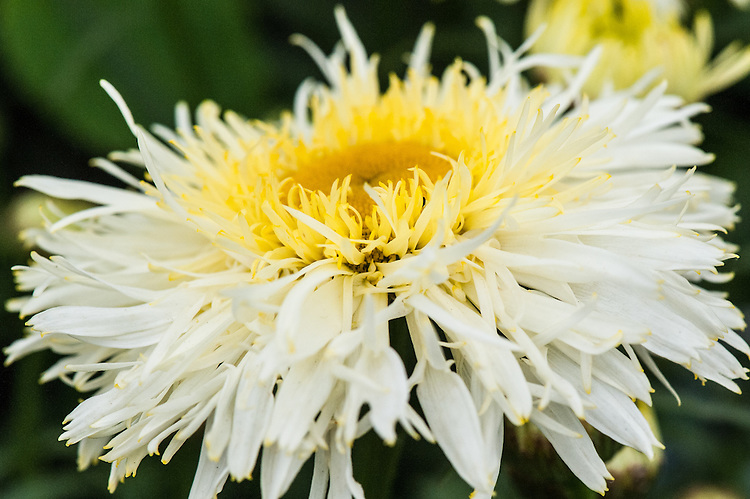 Leucanthemum x superbum 'Gold Rush', a yellow and white, two-tone Shasta daisy, early July.