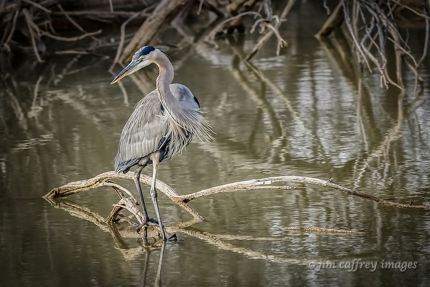 A great blue heron swivels his attention while hunting for a meal in a small pond at New Mexico's Bosque del Apache National Wildlife Refuge.