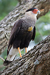 Southern Crested Caracara, Ibera Marshes, Argentina.