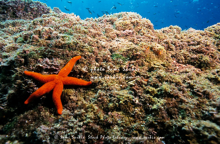 Bright Red Starfish clings onto a rock in the sea.