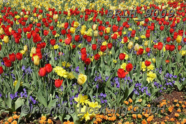 Luiz, FLOWERS, BLUMEN, FLORES, photos+++++,BRLH9009,#f#, EVERYDAY ,tulips ,allover