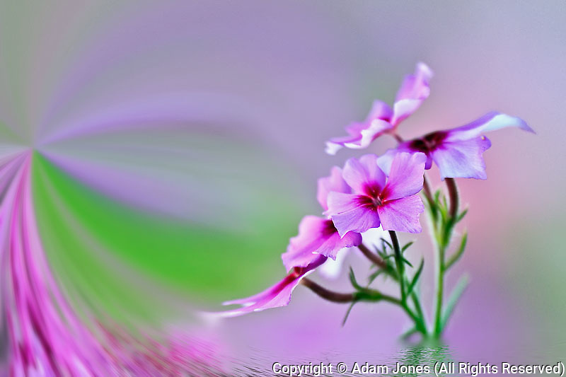 Fantasy version, Close-up of Drummond Phlox, Phlox drummondi, Hilton Head Island, South Carolina.