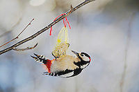 Great Spotted Woodpecker (Dendrocopos major), male feating on fat feeder, Zug, Switzerland, December 2007