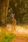 Portrait of a Buck #2, Auburn, California.