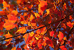 Maple leaves, Walworth County, Wisconsin