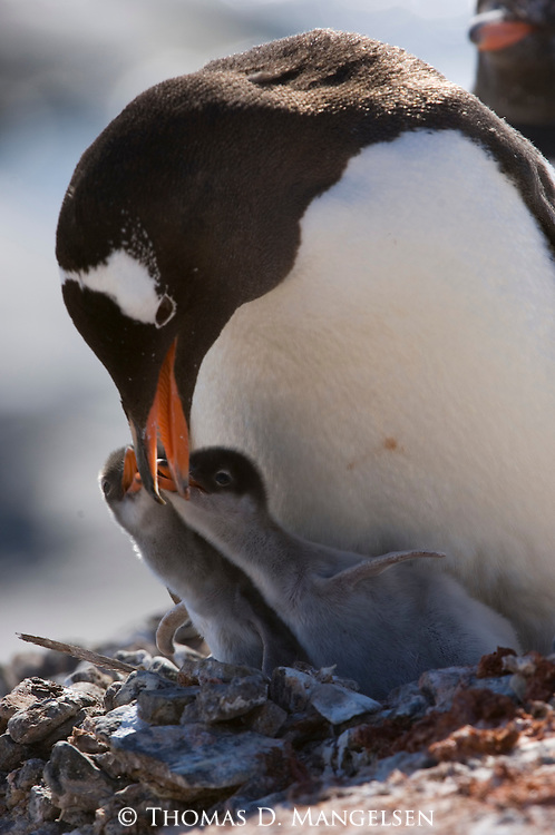 A Gentoo penguin tending its two chicks in Port Lockroy, Antarctica.