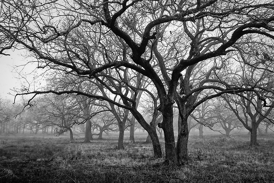 Early morning fog through a grove of bare oak trees in north Austin, Texas.
