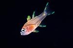 Cardinalfish larva, Black Water diving, vertical migration; Plankton; South East Atlantic Ocean;