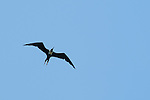 Female magnificent frigatebird, Fregata magnificens, near the mouth of the Tarcoles River, Costa Rica