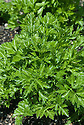 Par-cel, early July. A hybrid salad herb whose small, finely cut leaves look like parsley but taste like celery.