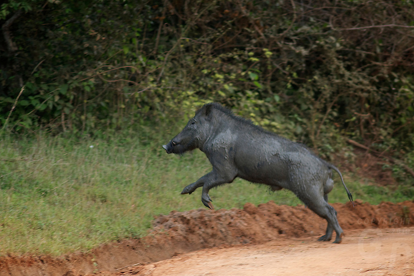 Wild Boar crossing the track Yala National Park, Sri Lanka