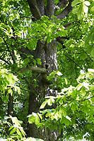 Gewöhnliche Rosskastanie, Rosskastanie, Ross-Kastanie, Kastanie, Blick in Baumkrone, Blätterdach, Blatt, Blätter, Aesculus hippocastanum, Horse Chestnut, horse-chestnut, conker tree, leaf, leaves, Le marronnier commun, marronnier d'Inde, marronnier blanc