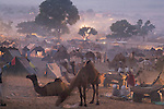 Scene at selling grounds of Pushkar camel fair at dusk; .The annual Pushkar camel fair is one of the main tourist attractions in India, Pushkar, Rajasthan, India