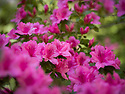 Spring in Sarah P. Duke Gardens.<br /> Azaleas<br /> Photo by Bill Snead/Duke Photography #dukephotoaday, #dukefacilities