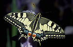 Swallowtail Butterfly, Papilio machaon - on flower, showing full wing span and colours, yellow and black, very rare species, lifecycle, in UK only inhabits fenlands of Norfolk lifecycle.United Kingdom....